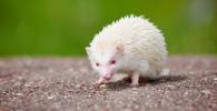 El Erizo albino y sus características