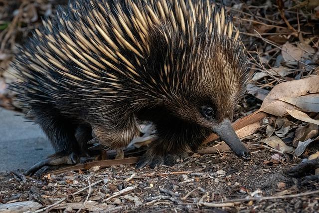 equidna de hocico corto australiano