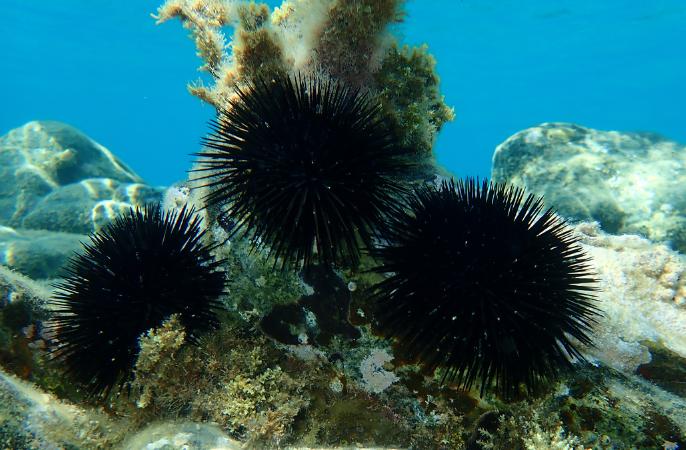 erizo de mar negro algas